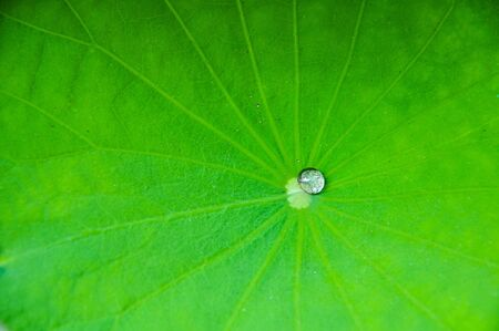 water drop on Lotus leaf photo
