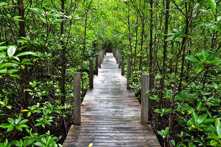 mangrove forest: Mangrove forest Boardwalk