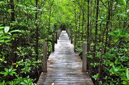 boardwalk trail: Mangrove forest Boardwalk