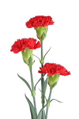 clavel: Tres claveles rojos sobre fondo blanco
