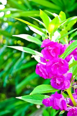 impatiens: Floraci�n de Purple Impatiens balsamina