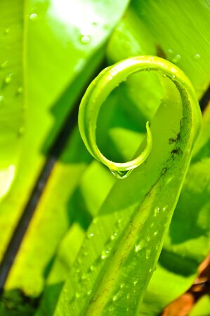 epiphytic: Spiral of Birds Nest Fern Leaf with drop water
