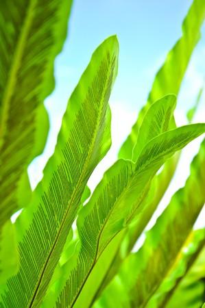 nervure: Green Leaf of BirdsNest Fern