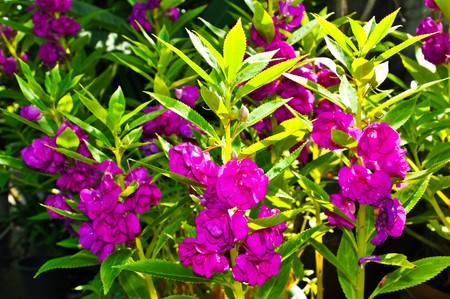 impatiens: Blooming of Purple Impatiens balsamina Stock Photo