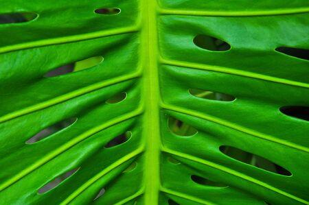 Blatt des Philodendron Stockfoto - 8035552