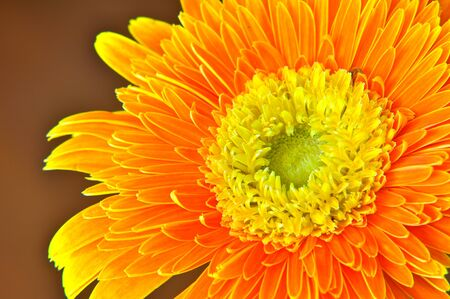 Close up Orange Gerbera Stock Photo - 8035757