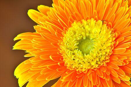 Close up Orange Gerbera Stock Photo - 8035757
