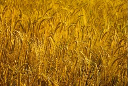 Golden Wheat Field in evening photo
