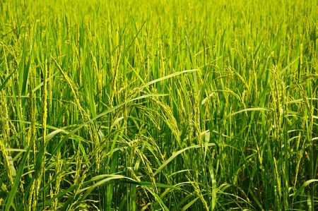 Rice field Stock Photo - 8202658