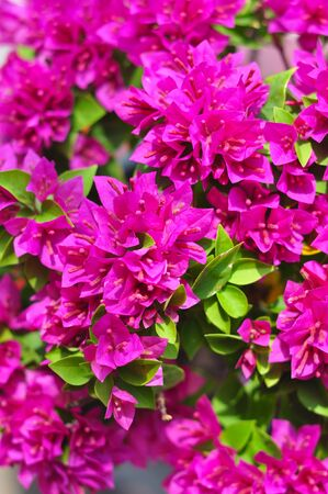 Paper flower or Bougainvillea Stock Photo