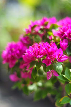 Paper flower or Bougainvillea Stock Photo - 8747746