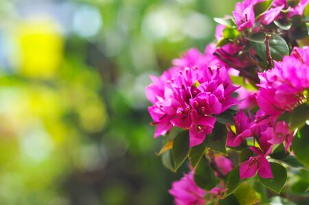 Paper flower or Bougainvillea Stock Photo - 9632314