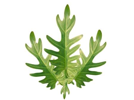 xanadu: Philodendron xanadu Leaves on white background