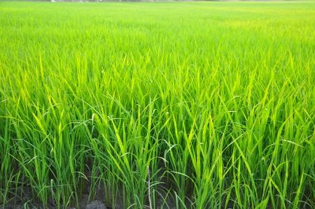 paddy fields: Rice Field