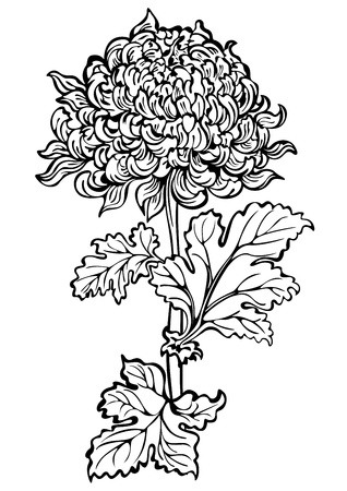 Chrysanthemum flower , black and white Vector