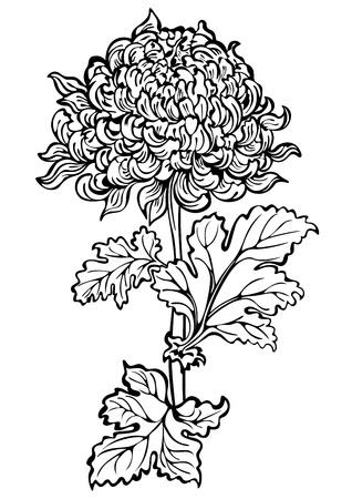 japanese chrysanthemum: Chrysanthemum flower , black and white
