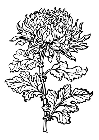 Flower chrysanthemum black and white Vector