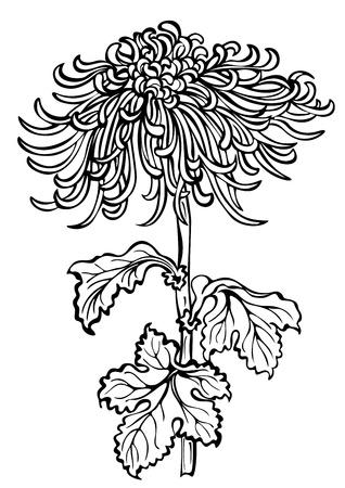 japanese chrysanthemum: japanese chrysanthemum flower on white background Illustration