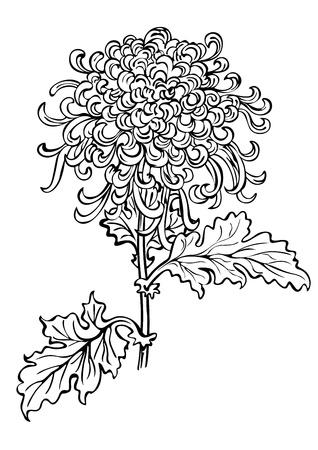 japanese chrysanthemum: japanese chrysanthemum flower  Illustration