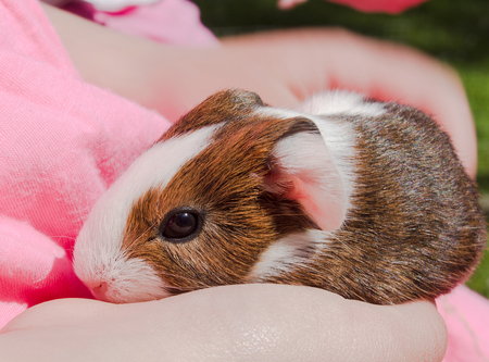 progeny: Guinea pig newborn sitting on hands  Cavy is a popular household pet  Stock Photo