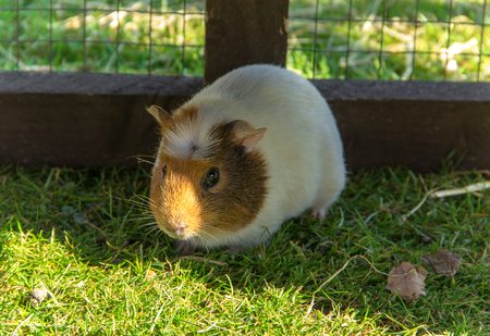progeny: Guinea pig sitting in a cage  Cavy is a popular household pet