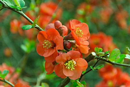 rosids: Chaenomeles japonica is deciduons shrub, spring flowers red