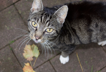 domestic animal: Tabby cat gray striped domestic animal