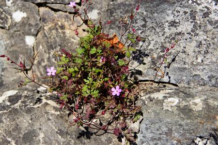 weed block: Flower geranium robertianum growing in the stone wall