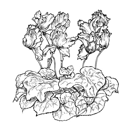flower cyclamen coloring black white Vector Illustration