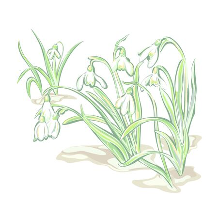 White flowers snowdrop, flowering plants to bloom on white background. Spring time.