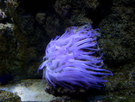 A Flowing Purple Sea Anemone 스톡 콘텐츠