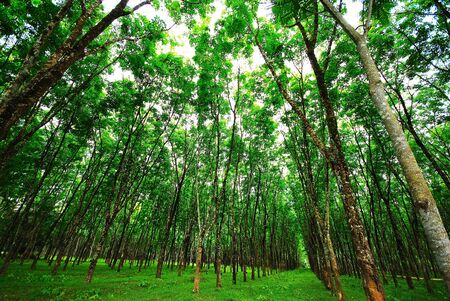 Rubber Trees, Trang, Thailand Stock Photo - 9545036