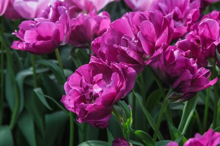 Flower bed with purple tulips (Tulipa) in spring time Stock Photo