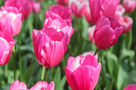 Flower bed with pink tulips (Tulipa) in spring time