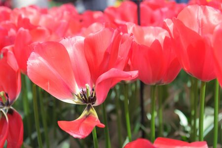 Flower bed with scarlet tulips (Tulipa) in spring time