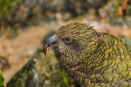 Kea - native New Zealand parrot on the car,,tries to steal rubber part from car with its strong curved