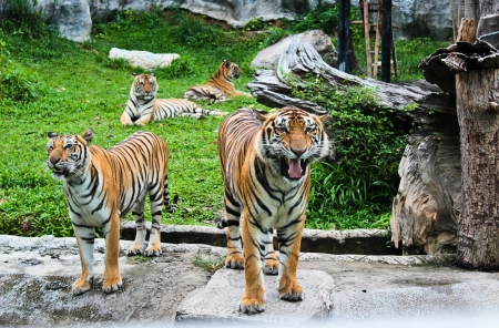 Tiger growling near  its group