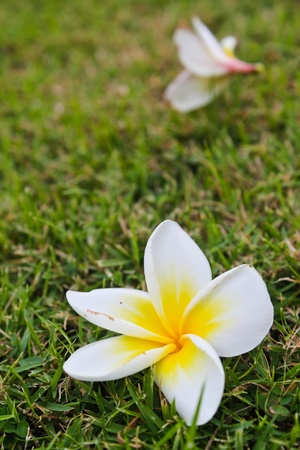 The plumeria flowers on the grass