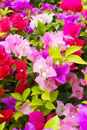 colorful bougainvillea flower  photo
