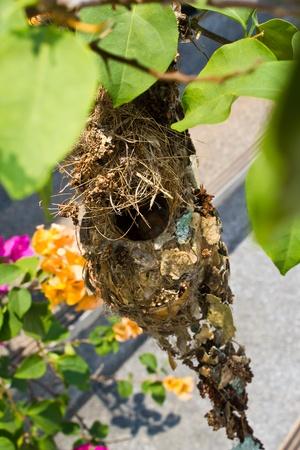 the bird nest on the bougainvillea tree Stock Photo