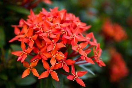the blossom of Ixora flower Stock Photo