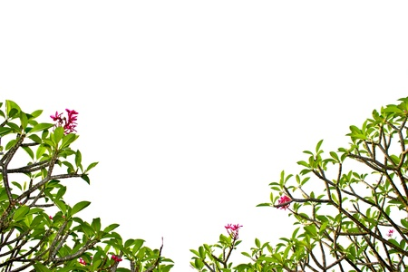 branch of plumeria tree isolated on white background