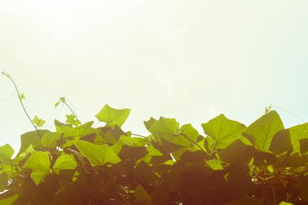 Ivy Coccinia grandis gourd photo