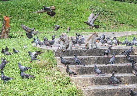 primacy: monkey among the birds (pegion) Stock Photo
