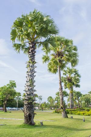 asian palmyra palm: photo of Asian Palmyra palm, Toddy palm, Sugar palm, Cambodian palm Stock Photo