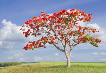 trunk: foto de gran árbol con flores rojas en el parque (Flam-boyant, El árbol de la llama, Royal Poinciana)
