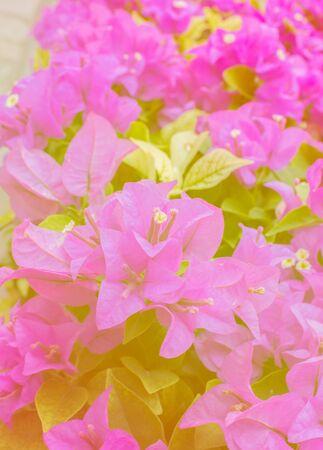 color bougainvillea: Pink Bougainvillea, Paper flower blur photo in color filter