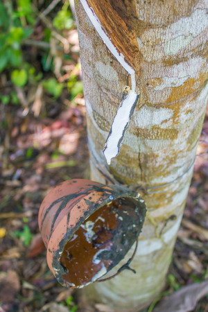 extracted: milk latex extracted from rubber tree after tapping