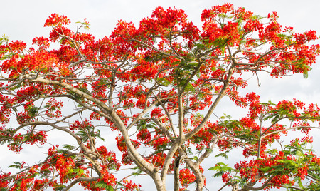 flamboyant: photo of big tree with red flowers in the park (Flam-boyant, The Flame Tree, Royal Poinciana) Stock Photo