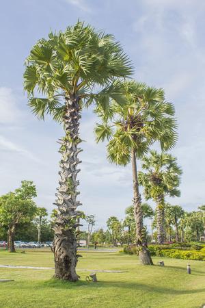 palmyra palm: photo of Asian Palmyra palm, Toddy palm, Sugar palm, Cambodian palm Stock Photo